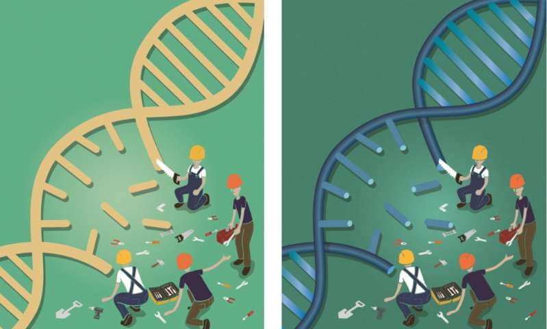 Scientists visualize structure of key DNA repair component with 'near-atomic resolution'