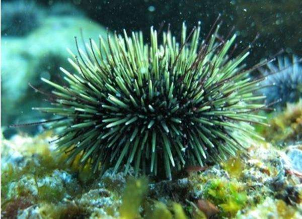 Sea urchins—from pest to plate