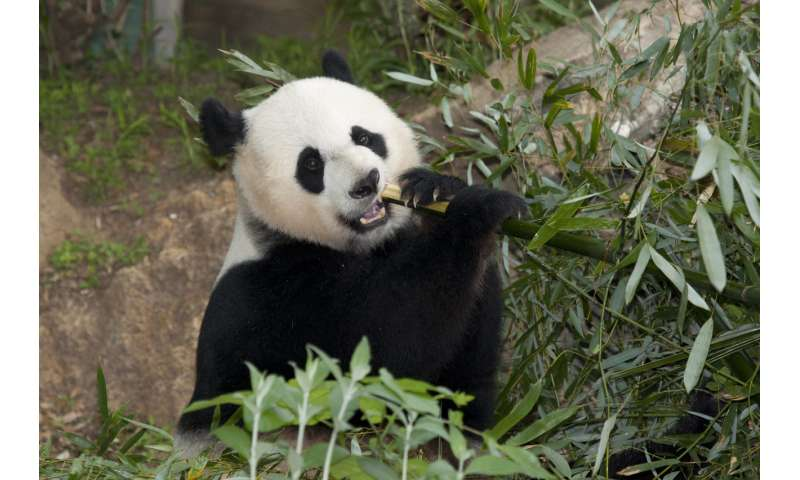 Separated since the dinosaurs, bamboo-eating lemurs, pandas share common gut microbes