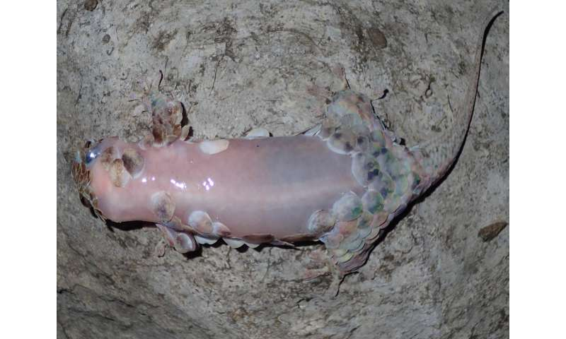 Skin-ditching gecko inexplicably leaves body armor behind when threatened