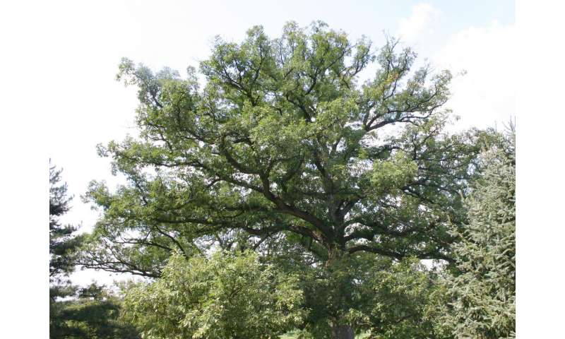 Solving the mystery of the white oak