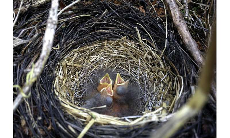 Sparrow chicks can ID song from opening note
