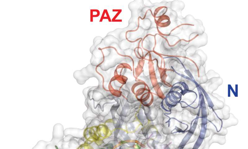 Structural view suggests RNAi multiplies its effect in repressing gene expression
