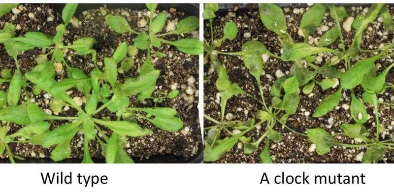 El estudio de los ritmos circadianos en las plantas y sus patógenos podría llevar a la medicina de precisión para las personas