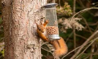 Study looks to safeguard red squirrels' future