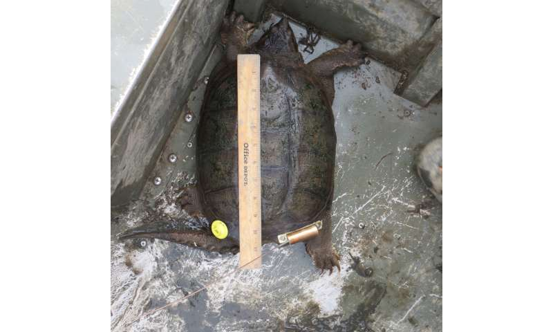 Study shows commercial harvest of snapping turtles is leading to population decline