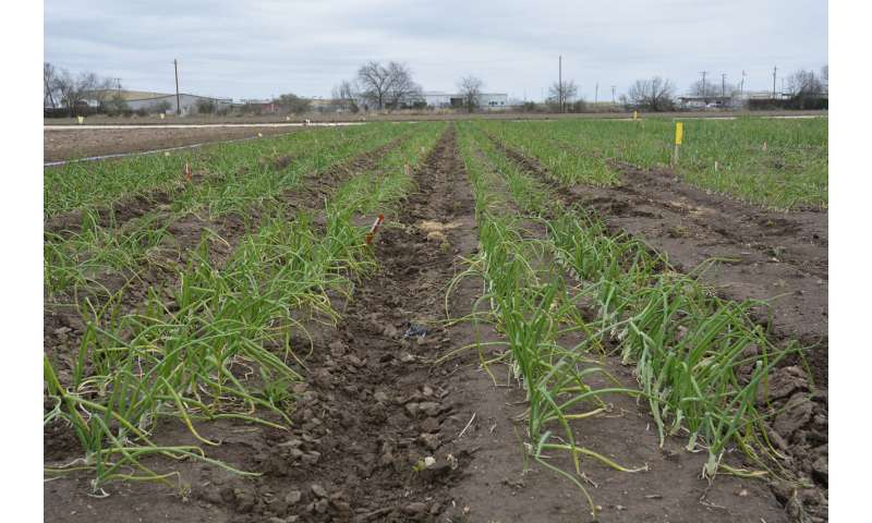 Study shows plant growth regulators can benefit onion establishment, production