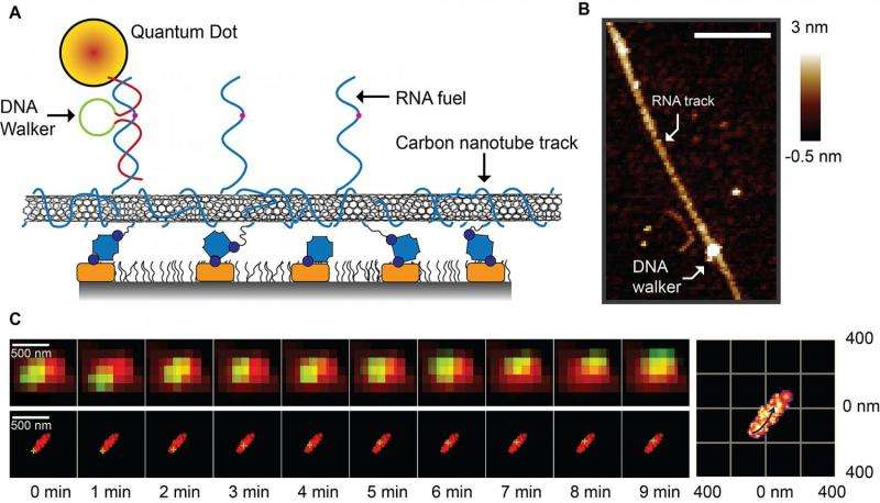 Super-resolution system reveals mechanics of tiny 'DNA walker'