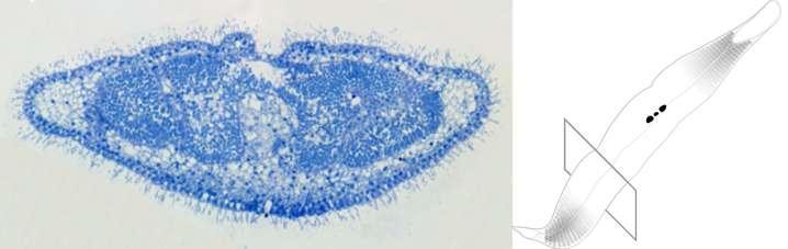 Symbiotic ciliates and bacteria have a common ancestor