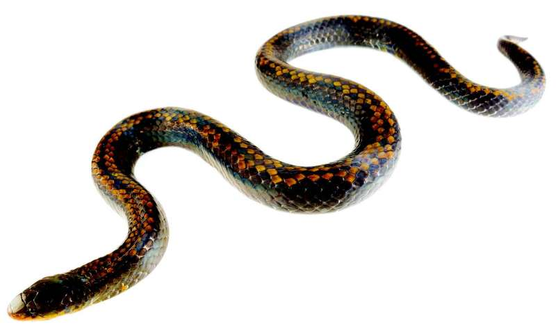 The Cerberus Groundsnake is a Critically Endangered new species from Ecuador
