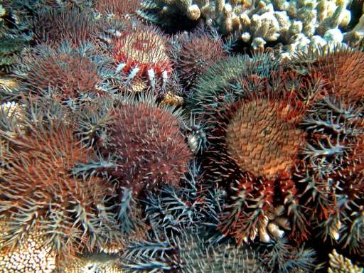 The crown-of-thorns starfish is capable of chewing through kilometres of reefs when large numbers of it gather and spawn