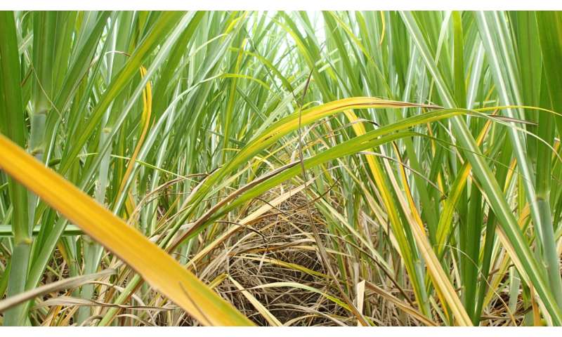 The mystery of the yellowing sugarcane