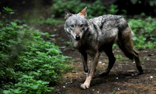 The plan could see 85 wolves killed a year