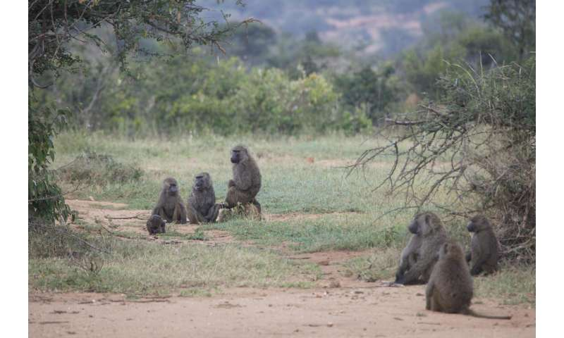 The rules of baboons