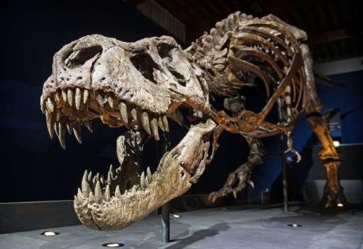 Le squelette d'un T rex nommé Trix est installé dans une pièce du Naturalis Museum of Leiden, Pays-Bas, le 9 septembre 2016, d