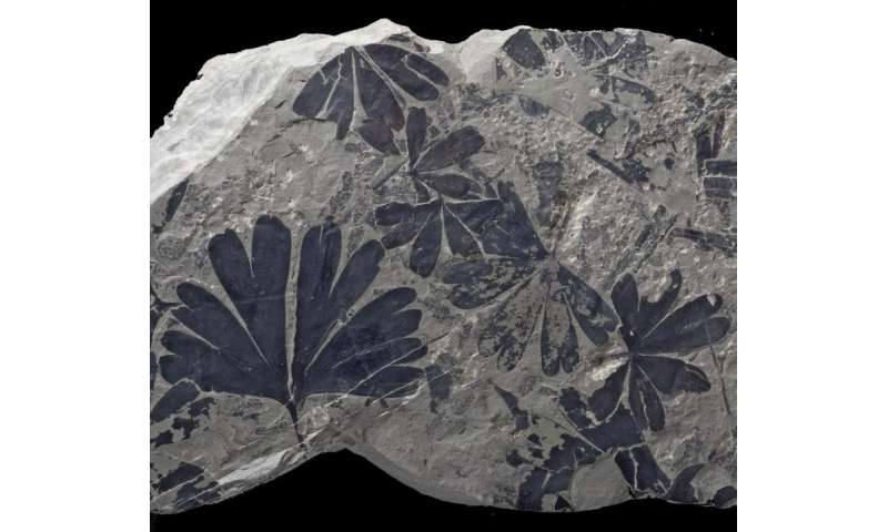Through fossil leaves, a step towards Jurassic Park