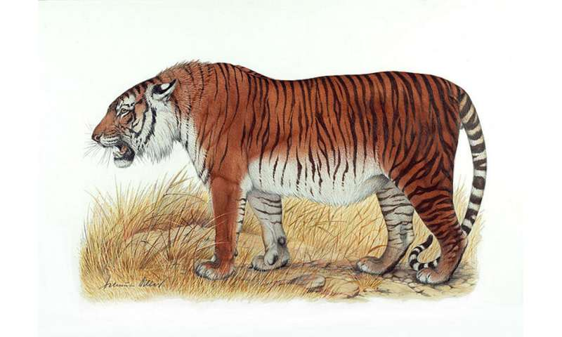 Tigers could roam again in Central Asia, scientists say