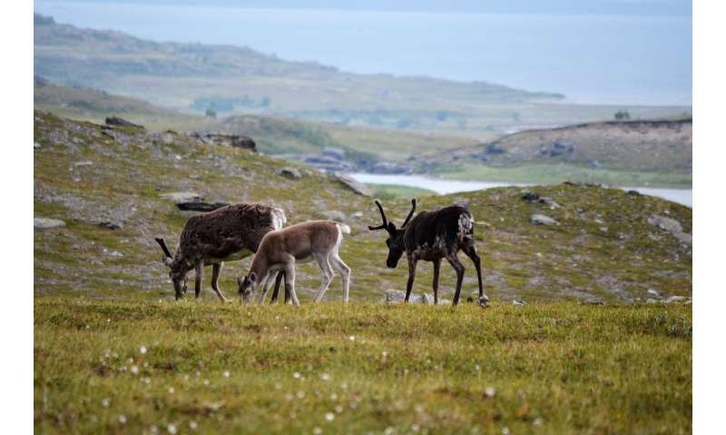 Traces of historical reindeer grazing can still be observed after 100 years