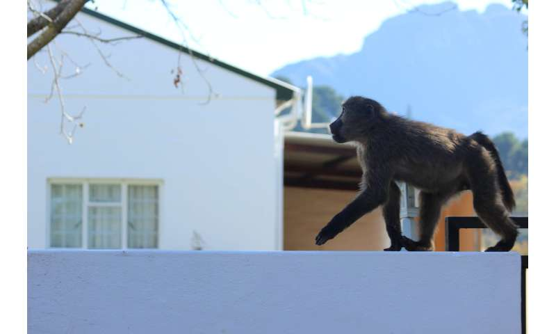 Tracking collars uncover the secrets of baboons' raiding tactics
