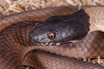 Why tiger snakes are on a winner