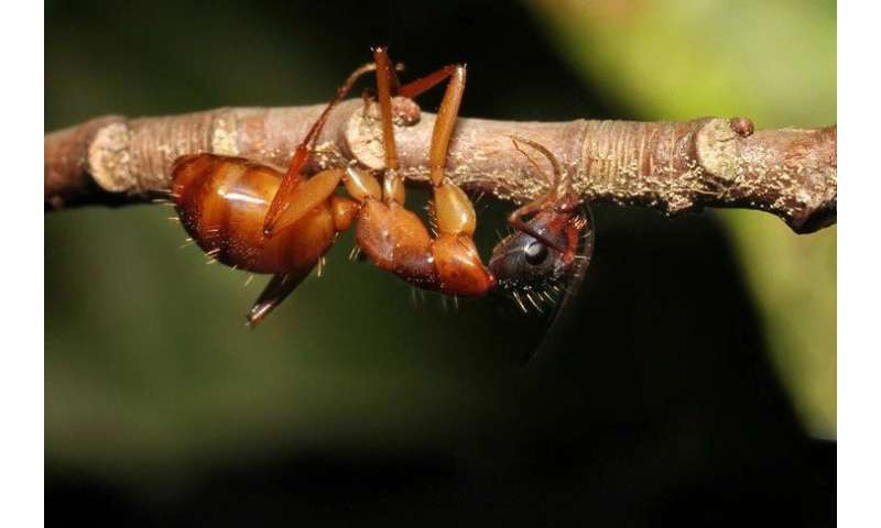 'Zombie ant' brains left intact by fungal parasite