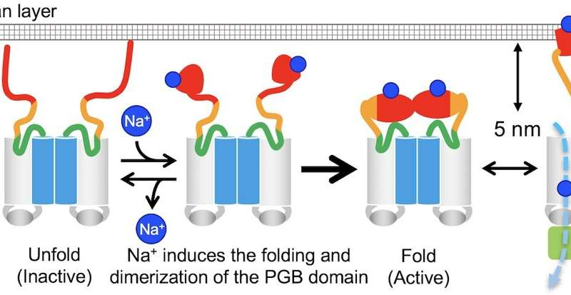 Researchers describe mechanism behind flagellar motility