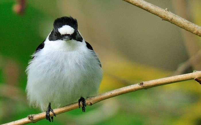 Climate change altered the natural selection – collared flycatcher's large forehead patch no longer a winner
