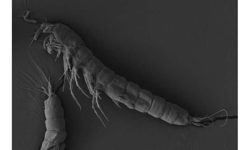 New species of Brazilian copepod suggests ancient species diversification and distribution