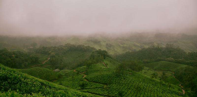 Scientists have mapped the DNA of tea – and it could stave off a pending crisis
