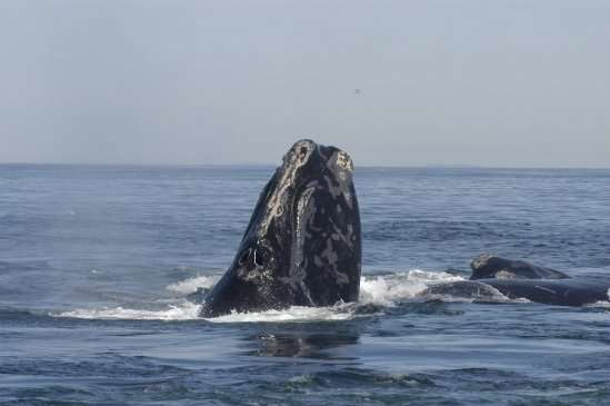 Study shows that right whales, already an endangered species, may face a dim future