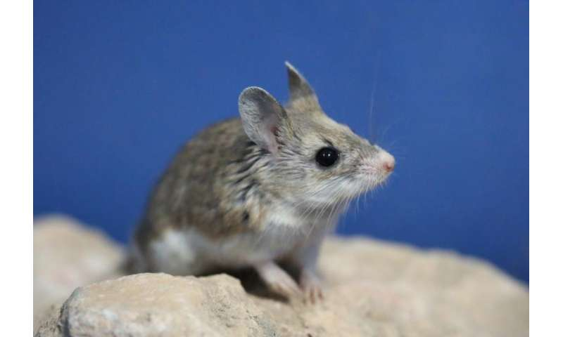 Researchers discover mice speak similarly to humans