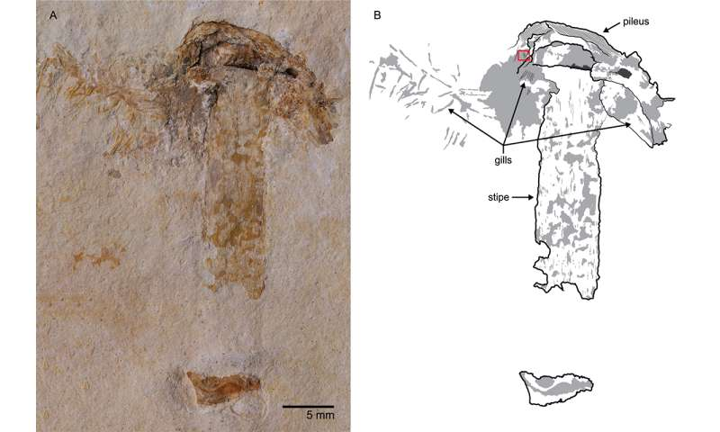 Scientists find world's oldest fossil mushroom