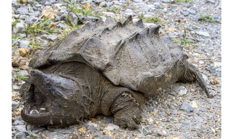 Researchers find first wild alligator snapping turtle in Illinois since 1984