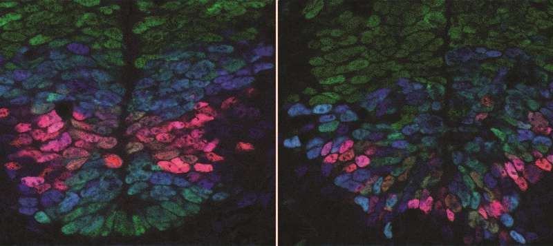 Scientists find mechanism behind precise spinal cord development