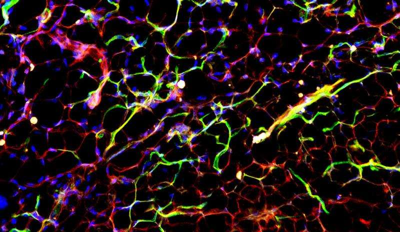 Study identifies blood vessel as a therapeutic target for diabetes