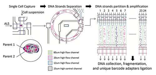 Scientists create device for ultra-accurate genome sequencing of single human cells