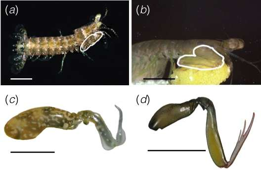 Researcher studies the feeding habits of stomatopod crustaceans