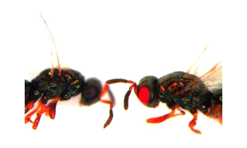 Researchers create red-eyed mutant wasps