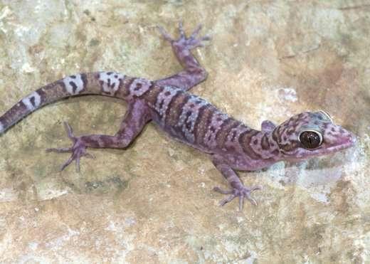 15 new gecko species discovered in Myanmar