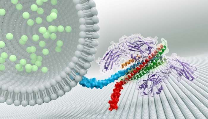 3-D Protein Structure Offers Insight into Rapid Communication by Brain Cells