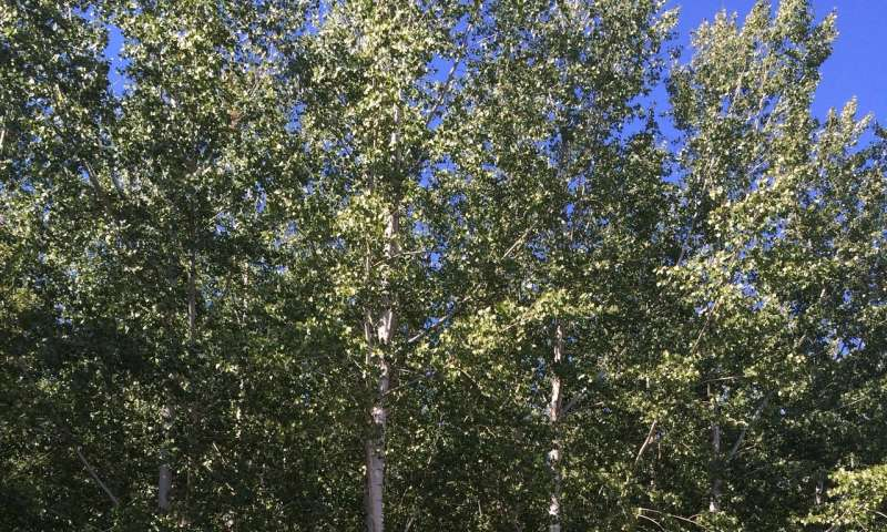Are petite poplars the future of biofuels? Studies say yes