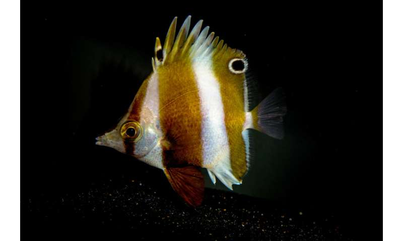 A surprise new butterflyfish is described from the Philippine 'twilight zone' and exhibit