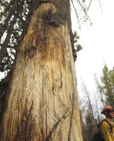 Billions of dead trees force US fire crews to shift tactics