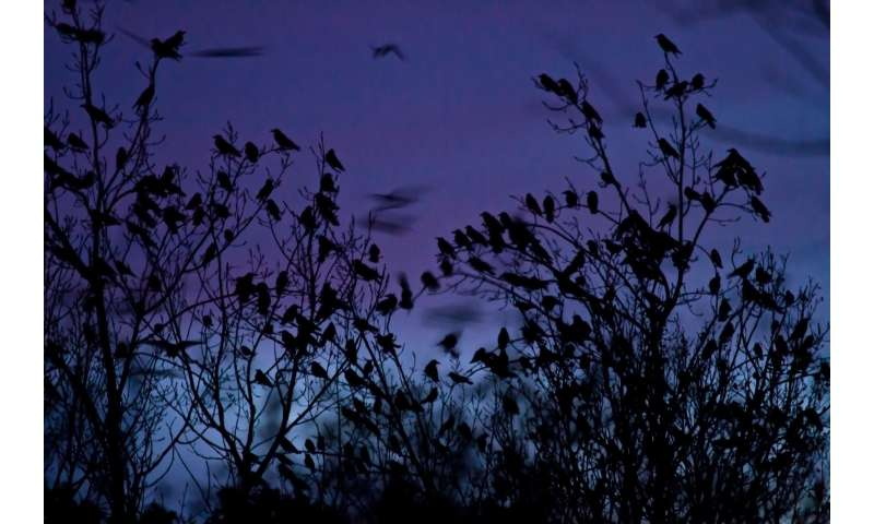Birds to help unravel the inner working of nature's most complex societies