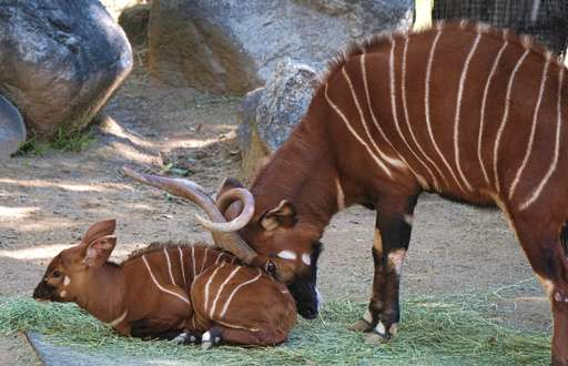 Bouncing baby bongo shows its stripes at Los Angeles Zoo