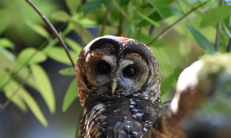 California Academy of Sciences assembles genome of threatened northern spotted owl