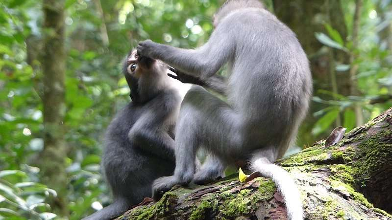 Chimpanzees and sooty mangabeys interfere with other group members' relationships