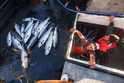 Collapse at salmon farm renews debate about fish farming