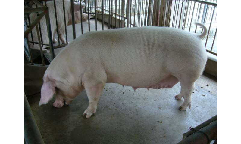 Down and dirty: Cleaning Okinawan pig farm wastewater with microbial fuel cells