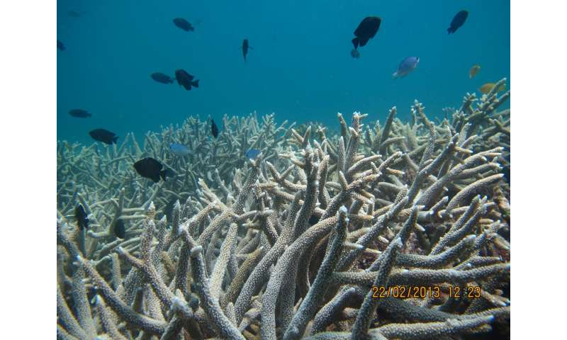 Great Barrier Reef building coral under threat from poisonous seaweed